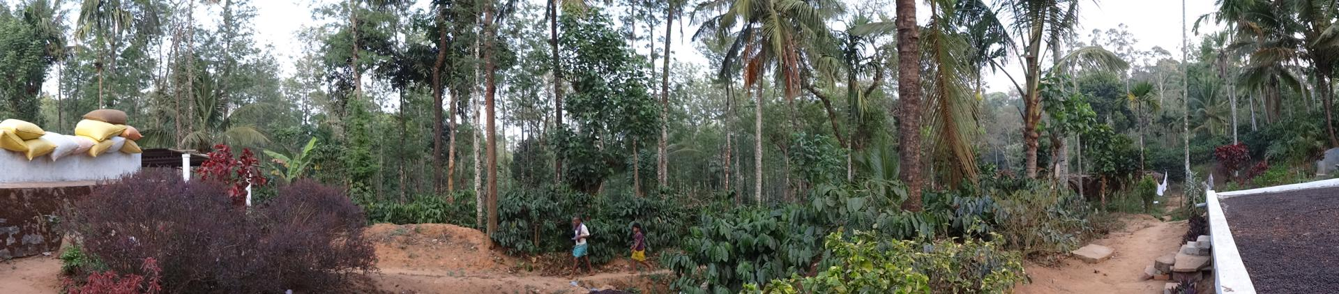 A working coffee plantation at Madikeri in the Coorg region of Karnataka