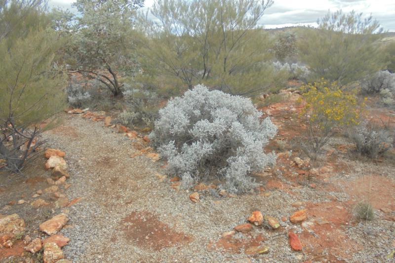 Maireana sedifolia at Broken Hill. Photo by Brian Roach