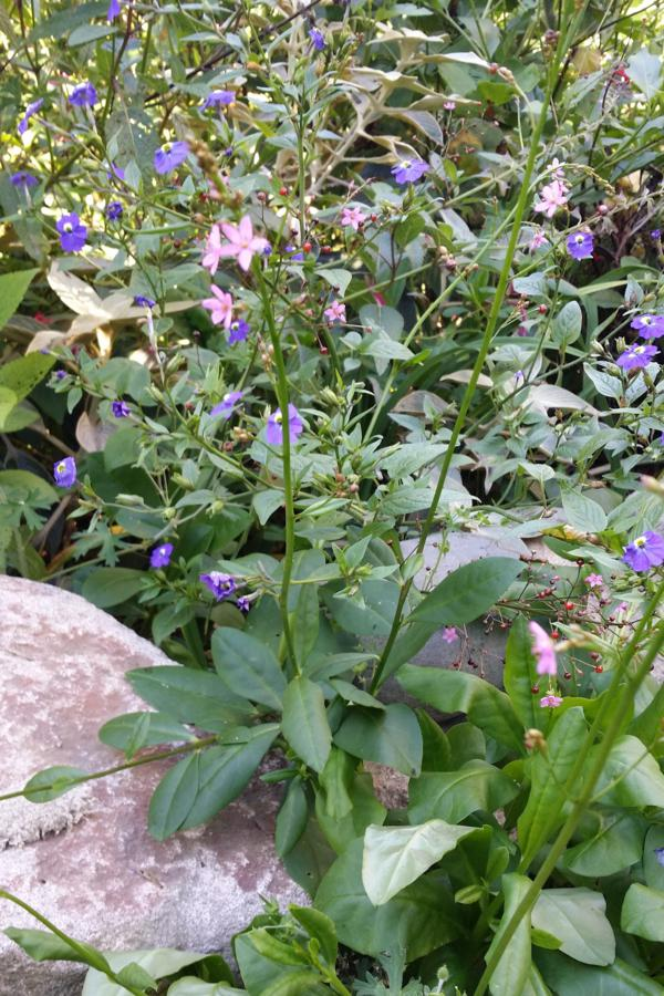 Talinum paniculatum (pink flowers) tucked in with the Chinese forget-me-nots