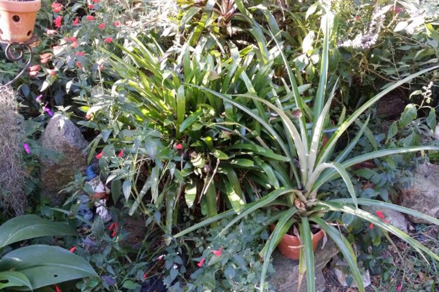 Pineapple plant tucked into the ornamental garden