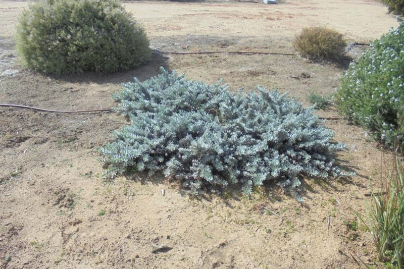 Eremophila glabra 'Kalbarri Carpet' growing at Hay. Photo by Brian Roach