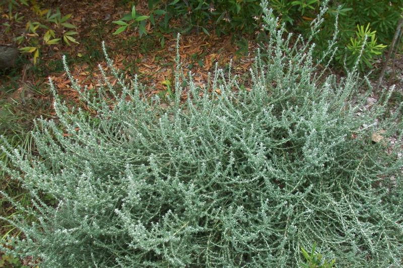 Olearia languinosa 'Ghost Town', an unkillable shrub which thrives in a hot dry spot. Photo by Brian Roach