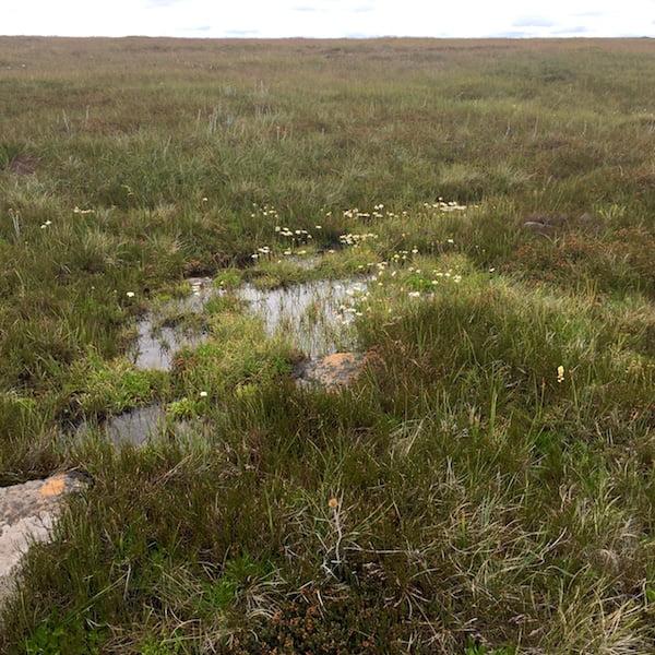 Alpine wildflowers and bog plants in Kosciuszko National Park