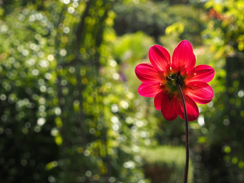 Backlit dahlia with an out of focus background that my eyes had perfectly focussed