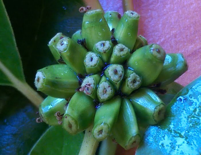 Banana-like fruit starting to form on Camtotheca acuminata