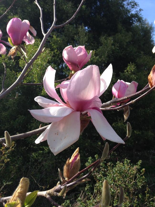 Beautiful spring flowers on Magnolia