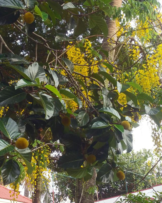 Breadfruit tree with Indian laburnum