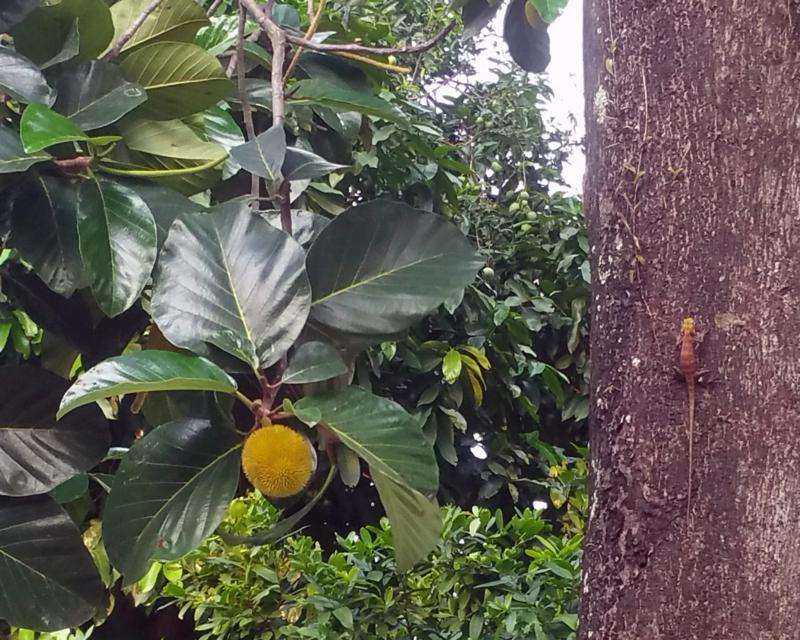 Breadfruit tree with local wildlife
