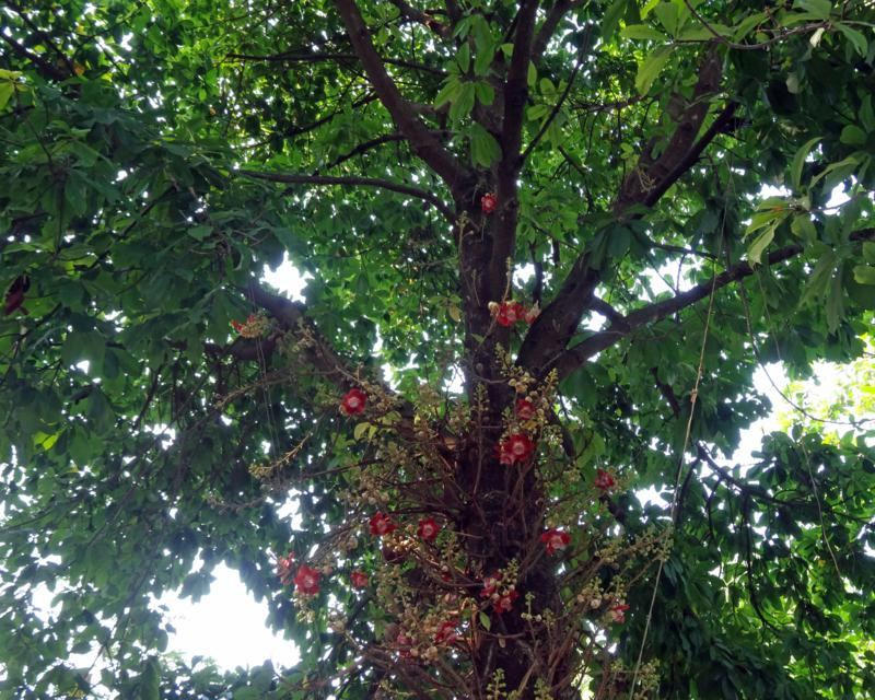 Cannonball tree (Couroupita guianensis).