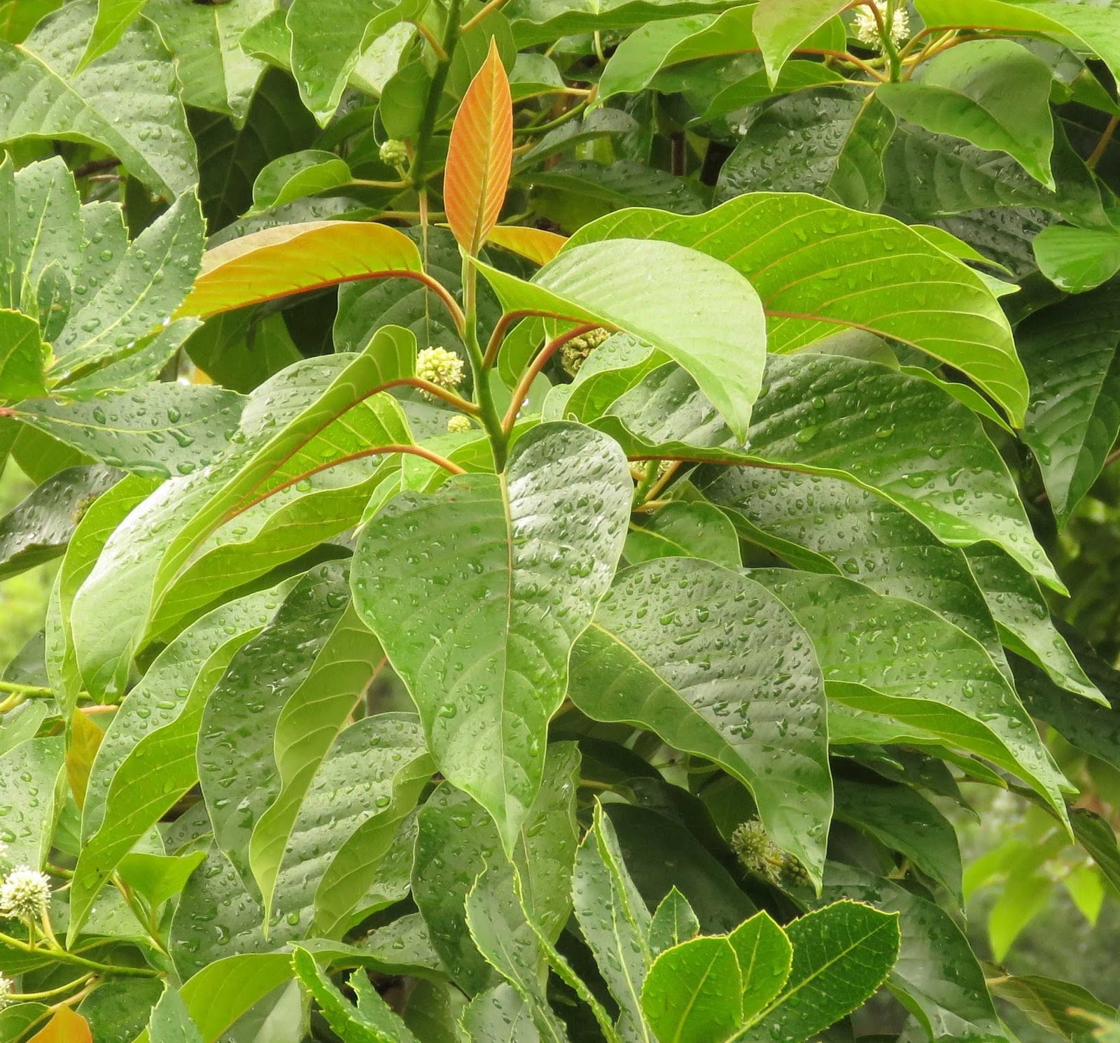 Foliage on Camtotheca acuminata