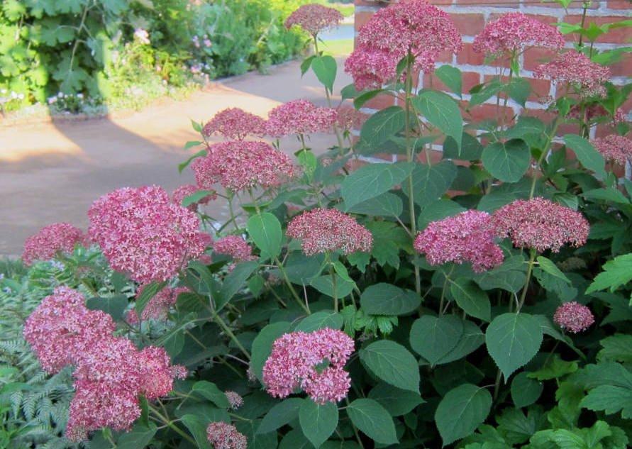 Hydrangea arborescens 'Invincibelle Spirit'. Photo K M via Flickr