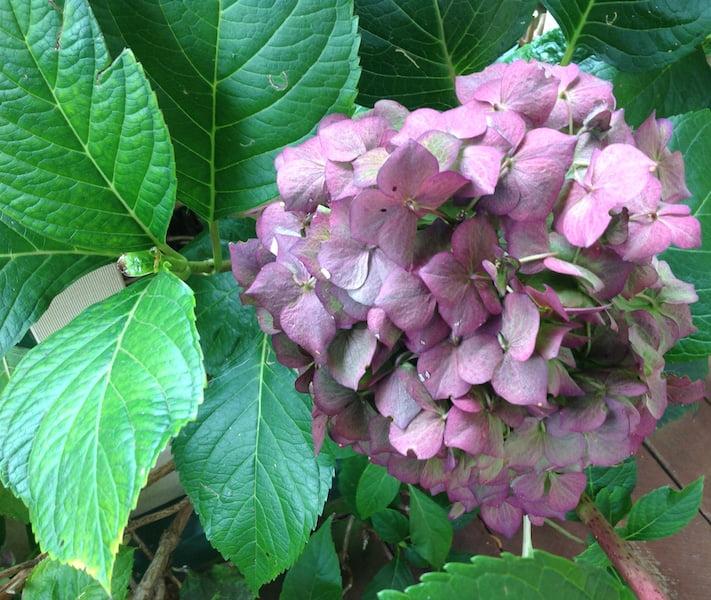 Hydrangea autumn colour