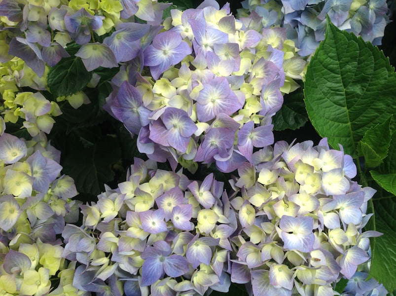 Hydrangea with blue florets