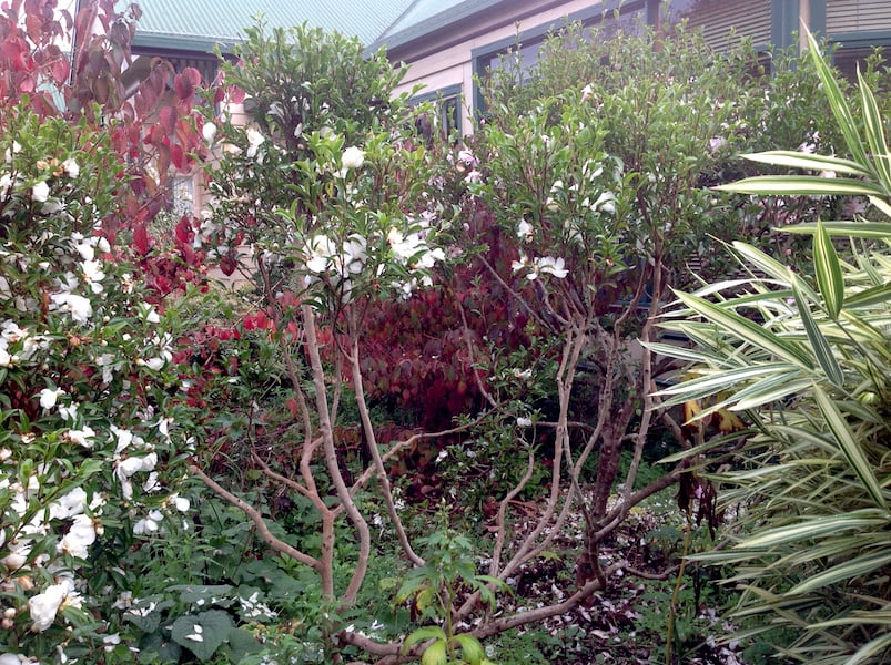 Judicious pruning, such as on these camellias, can open up views through without damaging the plant's overall shape
