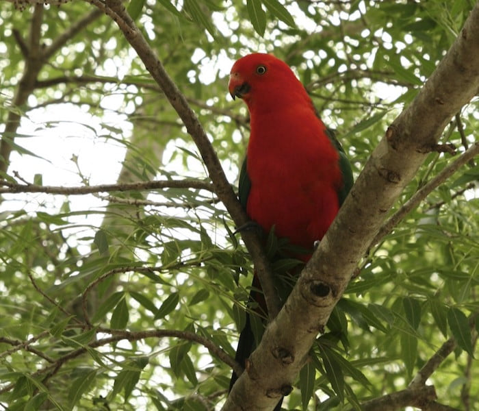 King Parrot in the claret ash
