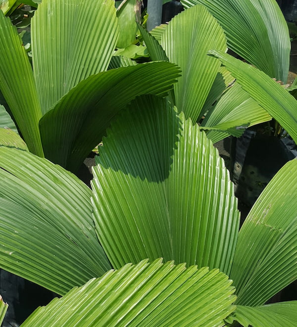 Licuala grandis, one of the plants I'll be using in my Singapore garden