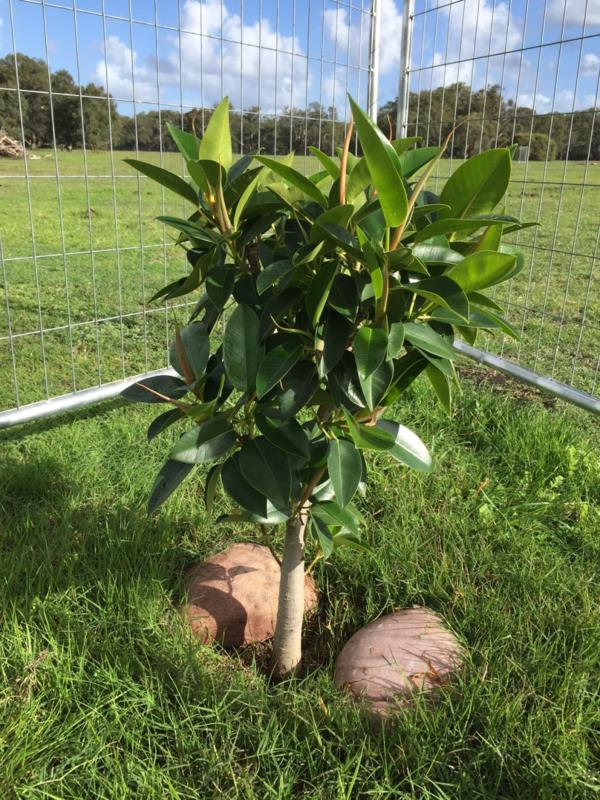 Number 1 fig – the intention of the stones is to provide some winter warmth and some moisture retention in summer