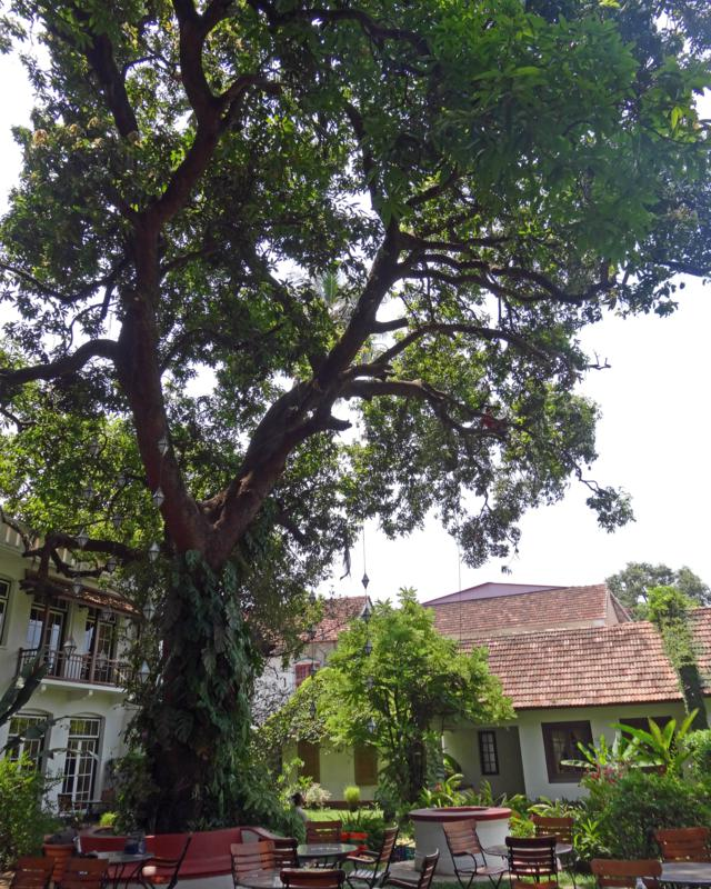 The mango tree is at Old Harbour Hotel in Fort Cochin