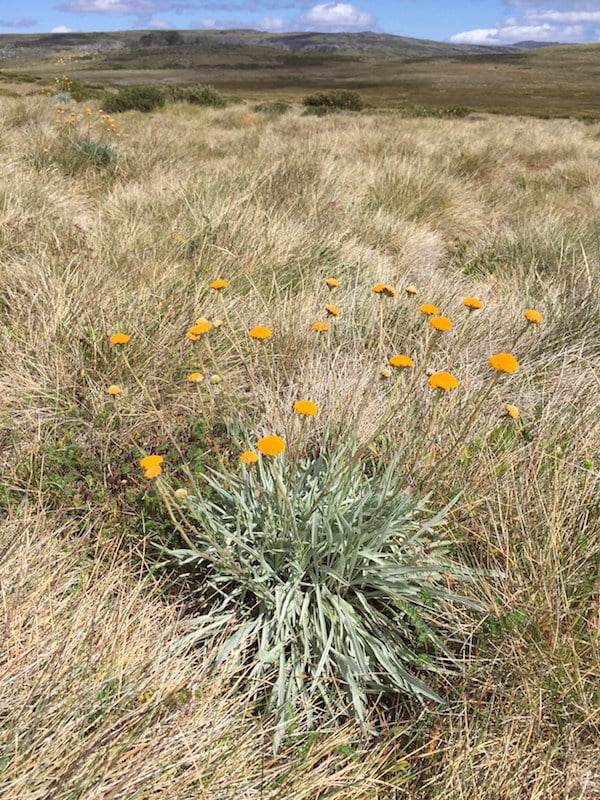 Monaro golden daisy, Rutidosis leiolepis
