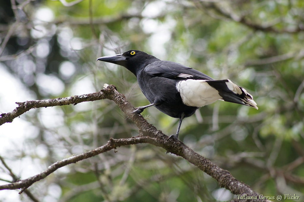 Pied currawong. Photo tatters