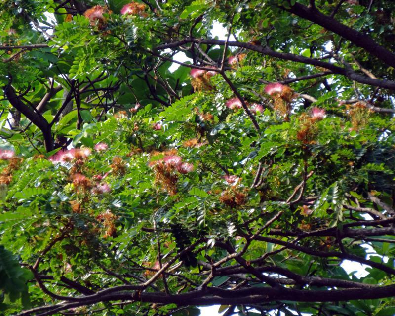 Rain tree flowers.