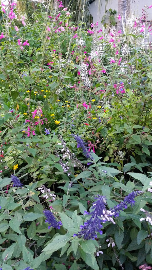 Salvias - a mainstay of a summer-autumn subtropical flower garden