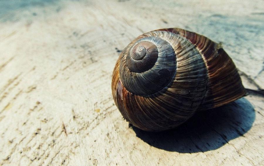Conch shape shell_900x566