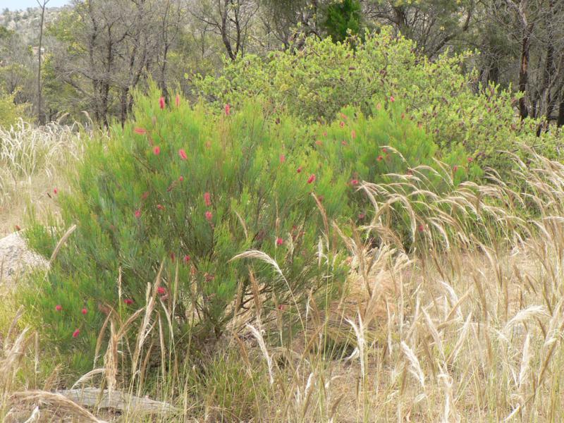 Austrostipa mollis (Soft Spear-grass), Marriott garden