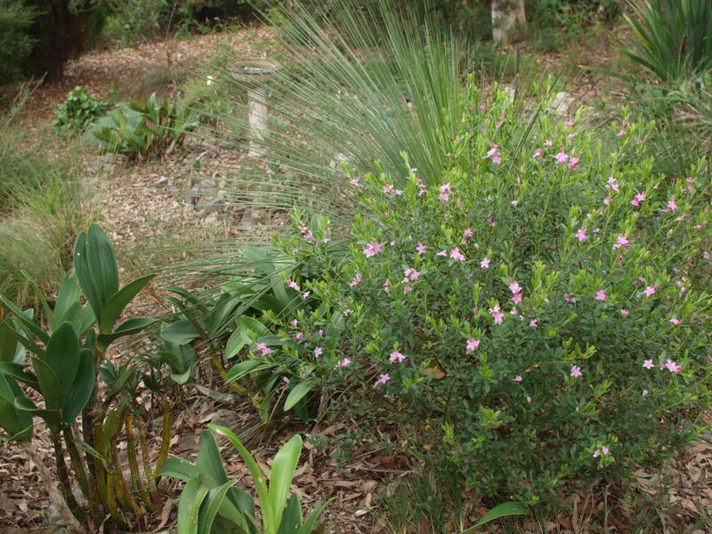 Crowea, grasses, dendrobium and xanthorrhoea at Ted & Nancy's garden