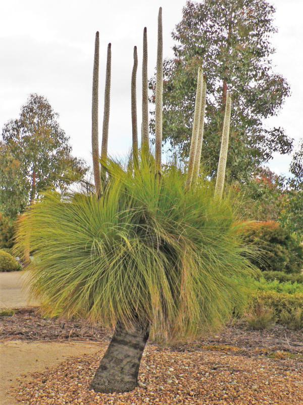 Xanthorrhoea australis (Grass-tree) with many flower-spikes, Royal Botanic Garden, Cranbourne