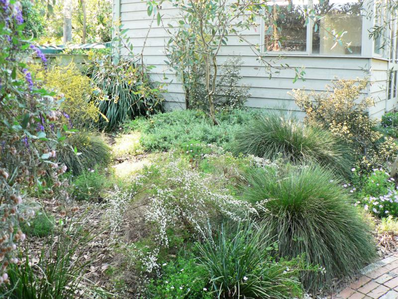 Two plants of Lomandra confertifoli ssp rubiginosa with, in the foreground, smaller plants of Lomandra filiformis, Snape garden