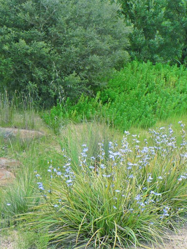 Orthrosanthus multiflorus (Morning Iris)