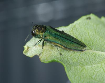 The emerald ash borer beetle on a leaf. U.S. Department of Agriculture