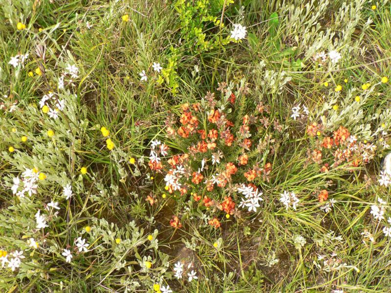 Forbs, Woorndoo Grassland