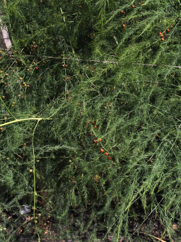 A female asparagus plant with red berries
