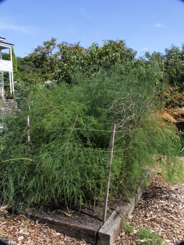 Asparagus plants can be tied back once the stems have hardened