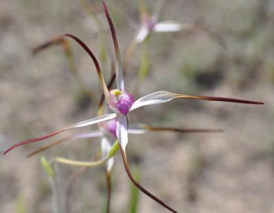 Caladenia versicolor_400x312