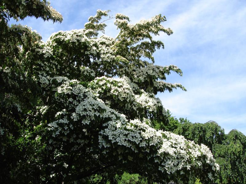 Dogwood still in flower