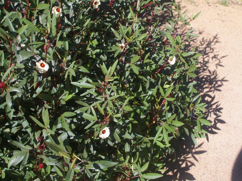 'Earlycrop' is a popular dense cultivar