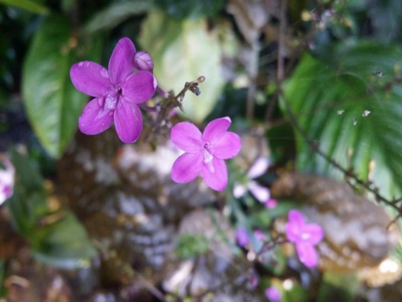 Chocolate plant