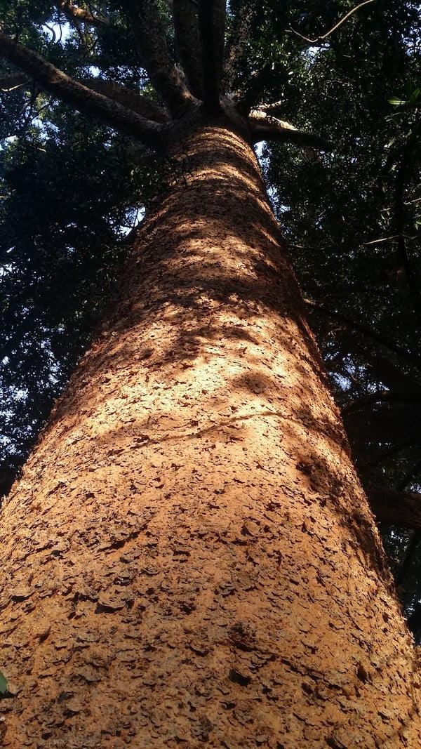 Majestic Agathis robusta in Callan Park