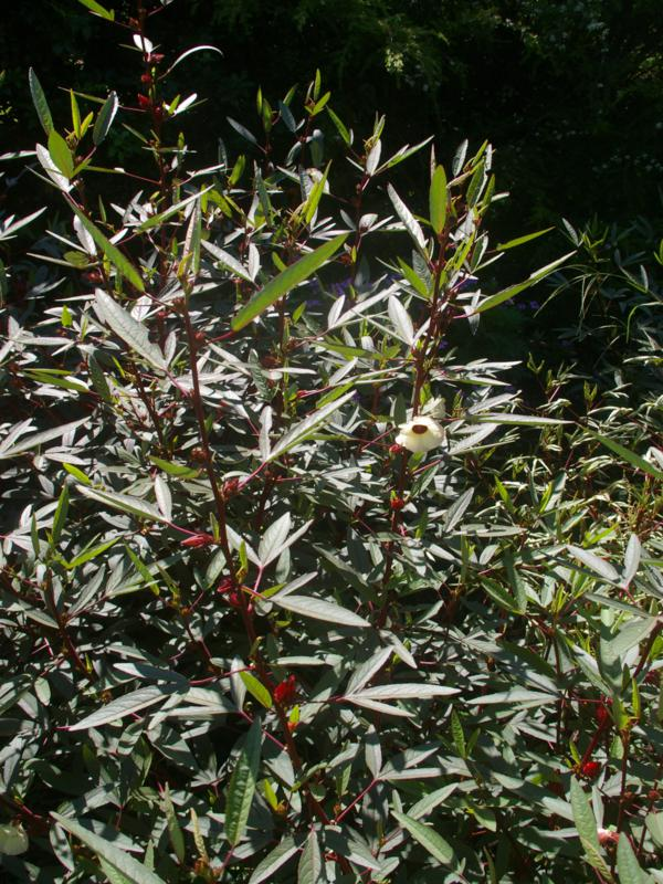 Note the narrow leaves on this 'Earlycrop' cultivar