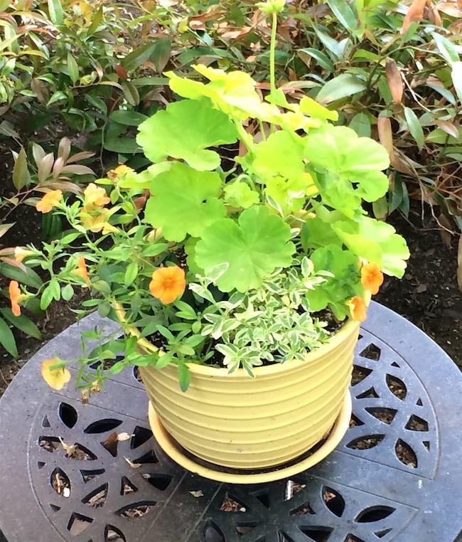 Pelargonium x 'Persian Queen', calibrachoa 'Minifamous Orange' and variegated Felicia