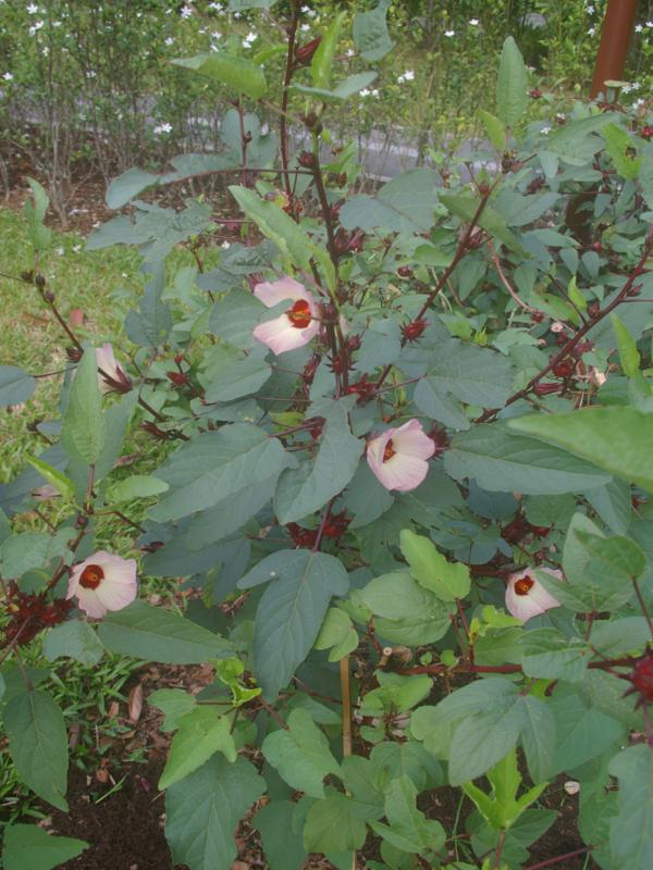 Pink blushed flowers of Thai rosella