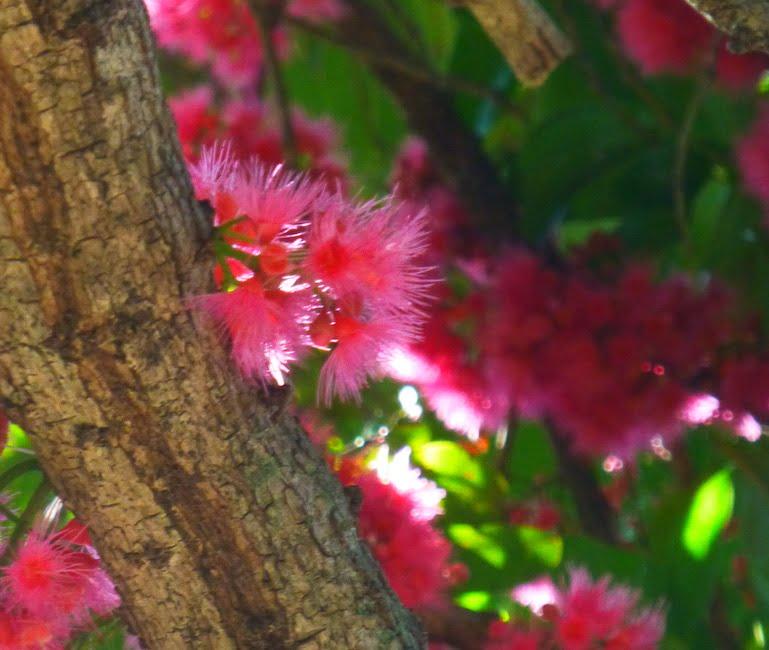 Syzygium moorei flowers