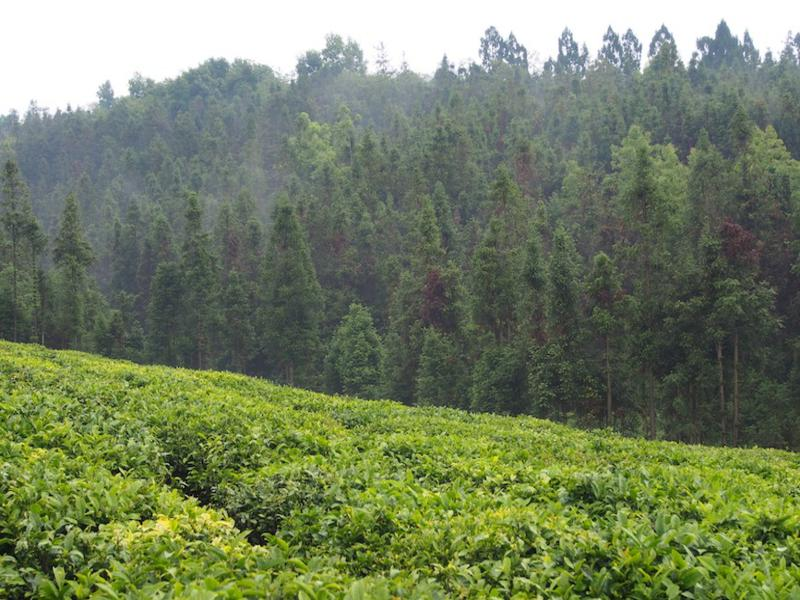 Tea plantation near Baoshan Yunnan China
