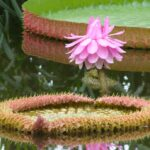 Victoria amazonica pink-purple male flower head. Photo by belgianchocolate. Creative Commons Licence 2.0