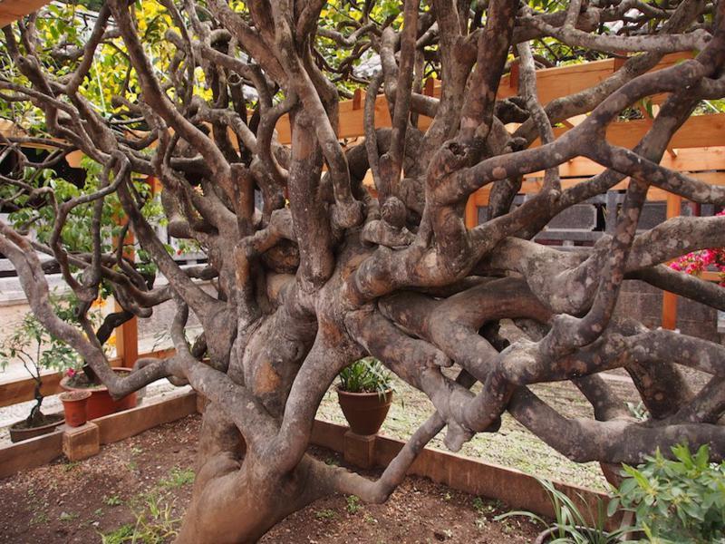 Yufeng Lamasery 10000 Flowers Camellia trunk