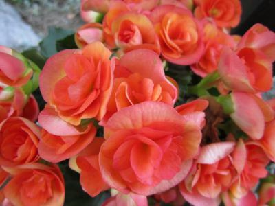 begonia-319355_1280_400x300