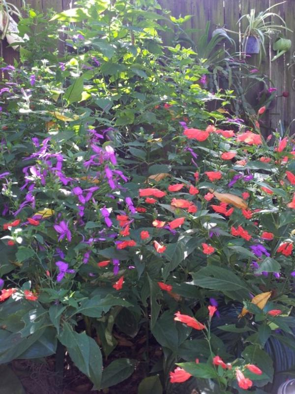 Two great flowers for shade subtropical gardens are Hypoestes and Ruellia